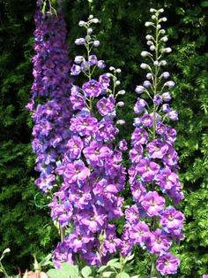 Delphiniums are stately perennials in ravishing shades of blues, pinks and mauves, as well as white.