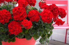Muscata este una dintre cele mai iubite si populare plante, atat in Romania, cat si in afara, gratie florilor bogate si colorate pe care le are. Este o planta putin pretentioasa, insa, pentru a fi spectaculoasa, Beautiful Flowers, Flower Pots, Plants, Geraniums, Flower Names, Garden Plants, House Plants, Full Shade Flowers, Shade Flowers