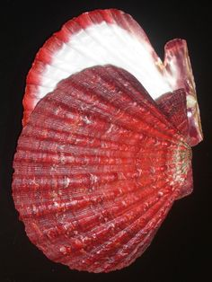 Nodipecten magnificus 167mm GEM- IMPORTANT MUSEUM QUALITY KNOBBY BEAUTY