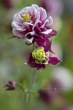 ~~Aquilegia 'Winky', nice flower and nice photography, flowers, gardening