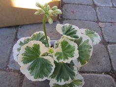 **WESTDALE APPELBLOSSOM** en vacker rosenknoppspelargon på Tradera.com
