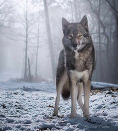 The Wolf is highly intelligent and lives within a highly structured social system within his pack: Save The Wolves: Husky, Dogs, Animals, Animales, Animaux, Doggies, Husky Dog, Animal, Pet Dogs