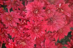 """Minngopher Chrysanthemum (Chrysanthemum """"Minngopher"""") in St Paul Minneapolis Twin Cities Metro Minnesota at Linder's Garden Center  18 in, partial shade, blooms early to late fall"""