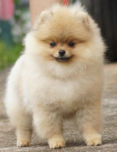 Jan Shar Pomeranians ~Foreign Showing~
