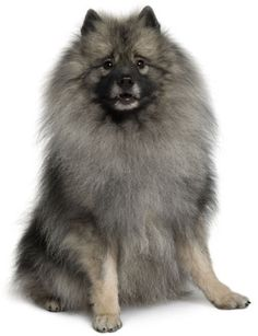 Keeshond Information, Facts, Pictures, Training and Grooming