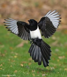 A magpie with the air brakes on as it comes in to land - Photo by Richard Steel