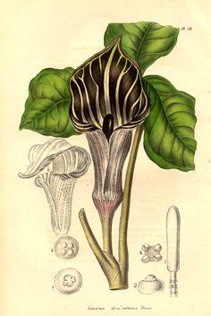 Jack-in-the-Pulpit (Arisaema triphyllum)  Image Source: Annales de la Société royale d'Agriculture et de Botanique de Gand, Journal d'horticulture. by Charles Morren (editor)