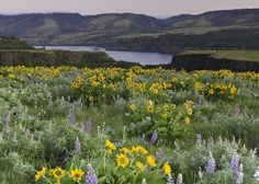 Hood River County » Wildflowers