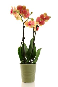 Orchid MD: More Orchid Rescue Tips