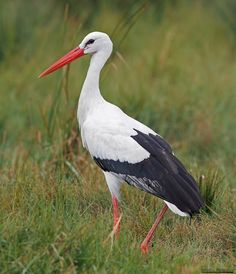 Bird: Ciconia ciconia ( White Stork - Λευκός Πελαργός ) ~ Cyprus Discovery
