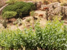 Maipo Valley, where the Llamas live and novas grows ... organic ... of course!