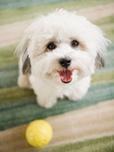 Havapoo (Havanese   Poodle)-If you can find a breeder of Havapoos that does apppropriate health testing (CERF eyes and OFA hips, elbows, and cardiac) and some kind of competitive activity that shows their dogs are worth breeding (obedience, agility, conformation shows, etc) then I'd say you're good to go. That's the same things usually recommened to check for when choosing a breeder of purebreds too. But good luck find a Havapoo breeder who does any of that.