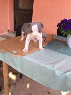 Hirdetésingyen - eladó kutya, kölyökkutya, kutyakölyök apróhirdetés ingyenes feladása.