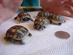 Hermann tortoise , Information, Care , Hibernation, Hatchlings for sale Tortoise Cage, Tortoise Food, Baby Tortoise, Sulcata Tortoise, Giant Tortoise, Tortoise Turtle, Tortoise Habitat, Hermann Tortoise, Russian Tortoise