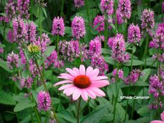 Stachys monieri 'Hummelo' with Echinacea; photo by Freda Cameron at Defining Your Home