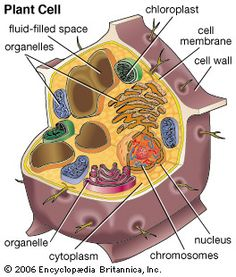 cell structure eukaryotic cell structure plant cells vs
