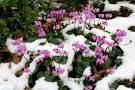 cyclamen in winter - Google Search