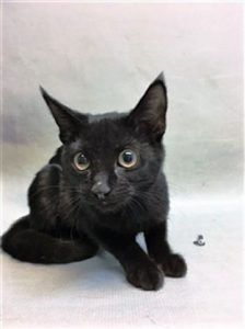 **RETURN**  HOLLY was returned from adoption.  She is already spayed and about 6 months old.   Super Urgent Shelter Cats  These animals are either high risk, injured or have previously appeared on the To Be Destroyed list and survived. They are in danger of being on the list again or destroyed without any further notice.