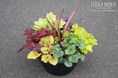 Terra Nova Nurseries® - Heuchera (Coral Bells) Shade Container
