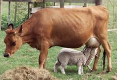 This cow is nursing orphan lambs.