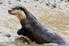 Cape Clawless Otter |