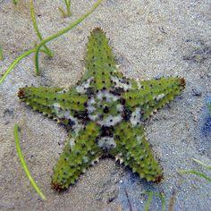 Cushion starfish in the Honduras, roatan island