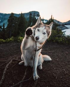 Choosing the best harness for your husky is not only difficult but very important! That's why I've put together this complete harness buyers guide to help you choose the safest harness for your Husky. Cute Puppies, Cute Dogs, Dogs And Puppies, Corgi Puppies, Doggies, Husky Dog Names, Cool Dog Beds, Husky Puppy, Old Dogs
