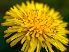 Dandelion Curlicues by RussellHartPhoto on Etsy