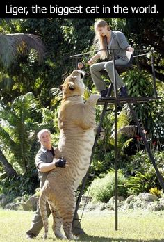Ligers are real. I thought for the longest time that Napoleon Dynamite made them up