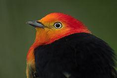 Foto uirapuru-laranja (Pipra fasciicauda) por Frodoaldo Budke | Wiki Aves - A Enciclopédia das Aves do Brasil