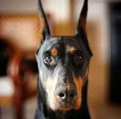 #Doberman #Pinscher Doberman Love, Doberman Pinscher, Gallery, Dogs, Animals, Doberman, Animales, Roof Rack, Animaux