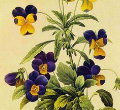Johnny Jump-ups Viola Tricolor Vintage Wildflower Botanical Illustration By Redoute To Frame.