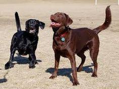 Image result for black labrador retriever