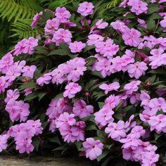 Impatiens   New Guinea Divine Lavender F1