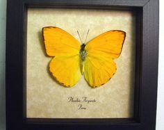 Hermosa mariposa naranja de azufre por REALBUTTERFLYGIFTS en Etsy