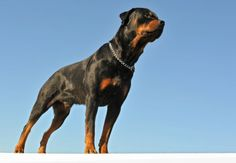 How To Train A Guard Dog - Guard Dog Training - Also, how to teach your dog to stop barking on command.