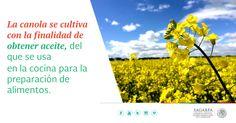 La canola se cultiva con la finalidad de obtener aceite, del que se usa en la cocina para la preparación de alimentos. SAGARPA SAGARPAMX