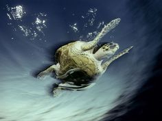 Photo: A hawksbill turtle and fish swimming, Red Sea