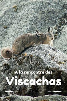 Découvrez des animaux originaux au Pérou comme les adorables viscachas que l'on découvre lors de la randonnée de la laguna 69 Animal Original, Road Trip, South America, Latin America, Capybara, All Gods Creatures, Indiana Jones, Bolivia, Beast