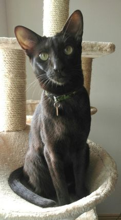 Havana brown cat American Shorthair, Exotic Shorthair, Siamese Cats, Kittens, Japanese Bobtail, American Bobtail, American Curl, Tonkinese, Brown Cat
