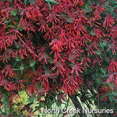 "Lonicera ""Major Wheeler"" deer resistant, zones 4-8, 6-8' x 5-10'.  Attracts hummingbirds spring through summer.  Noninvasive, fragrant. Needs fence or trellis. High Country Gardens."