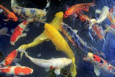 Koi Painting, Lotus Art, Koi Ponds, Japanese Koi, Fur Clothing, Beautiful Fish, Heart Eyes, Betta Fish, Goldfish