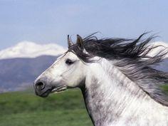 Grey Andalusian Stallion