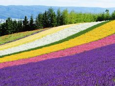 Hokkaido attracts visitors from late June to mid-August when the lavender fields are in full bloom, producing fragrant winds and endless pastel fields.