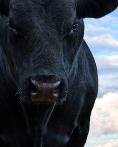 July 8, 2014 - Blue Bull - Angus Bull  2014©Barbara O'Brien Photography
