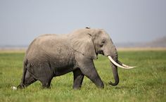 Conservationists are mourning the loss of 87 elephants whose bodies were discovered during an aerial survey in Botswana. Funny Animals, Cute Animals, Nature Animals, Wild Animals, Animal Help, Network For Good, Animal Protection, Wildlife Conservation, Environmental Issues