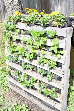 My strawberry pallet garden! We planted marigold flowers up top to keep bugs away.
