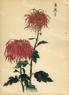 Chrysanthemum Flowers by Keika Hasegawa Vintage Flower Prints, Vintage Botanical Prints, Antique Prints, Vintage Flowers, Vintage Art, Chrysanthemum Flower, Japan Art, Woodblock Print, Botanical Illustration