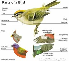 English vocabulary - Animals - Parts of a Bird