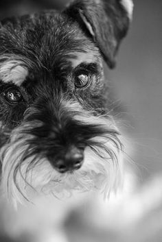 Schnauzers ~ ✞ ♥ I asked God for a Best Friend. He gave Me a Schnauzer. Miniature Schnauzer Puppies, Schnauzer Puppy, Schnauzer Grooming, Cute Puppies, Cute Dogs, Dogs And Puppies, Doggies, Animals Beautiful, Cute Animals